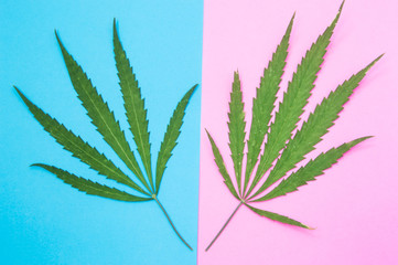 Male and female cannabis or marijuana. Two green cannabis leaf lie on different colors - male leaf on blue background, female leaf - on pink background. Concept of female male marijuana and difference