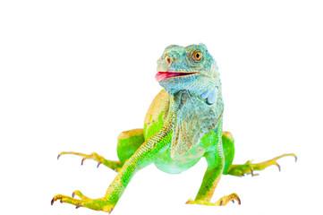 one green iguana lizard .reptile sit on white background