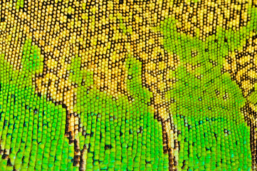 one green iguana lizard .reptile texture skin closeup