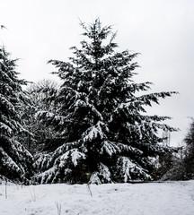 Wintry Pine