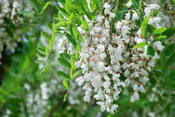 White Robinia pseudoacacia tree, False acacia, Black locust plant