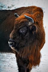 Fototapeta portrait of European bison in winter forest.