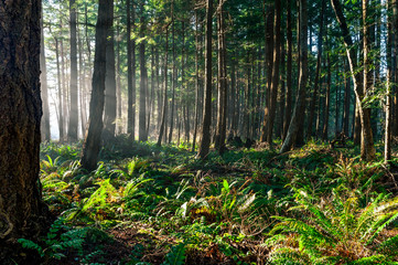 Sun beam light rays shine through trees in evergreen boreal forest