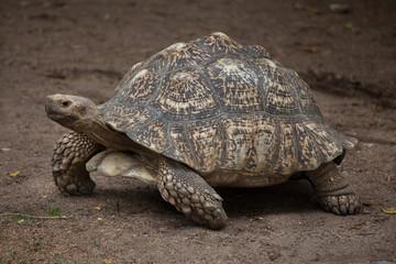 Wall Mural - Leopard tortoise (Stigmochelys pardalis).
