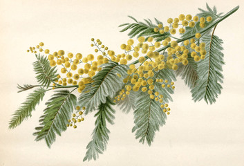 Illustration botanique / Acacia dealbata / Mimosa