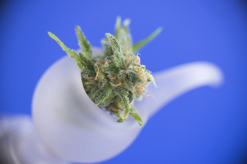 Fresh cannabis flower on a bong bowl over blue background - medi
