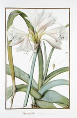 Vélin de Redouté / Amaryllis longifolia