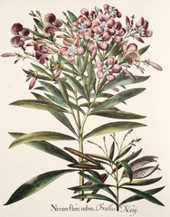 Illustration botanique / Nerium oleander / Laurier rose