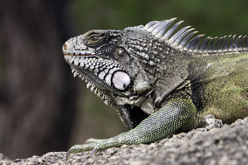 Iguana iguana / Iguane vert