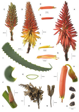 Planche botanique / Aloe arborescens / Aloès arborescent