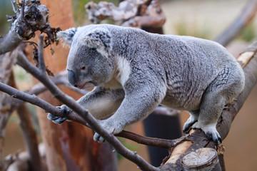 Koalas climbing tree, eating in Sandiego zoo