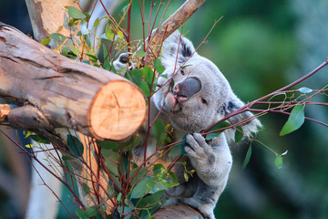 Koalas climbing tree, eating in Sandiego zoo