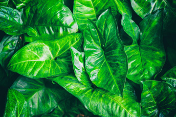 Fresh green leaves, Heart shaped leaves vine, golden pothos (Epipremnum aureum) Green background with leaves, selective focus