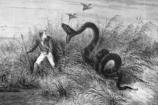 Illustration / Serpent Anaconda attaquant un chasseur
