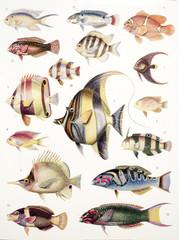 Illustration zoologique / Poissons des coraux