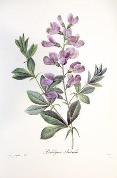 Podalyria australis / Baptisia australis / Lupin indigo