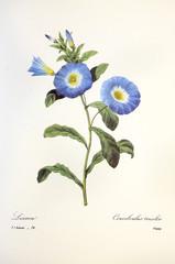 Convolvulus tricolor / Liseron