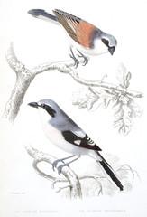 Oiseaux de Buffon / Pie grièche écorcheur / Pie grièche méridionale