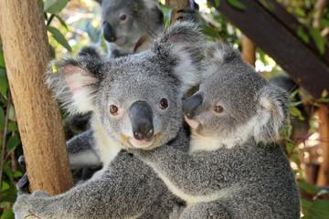 Fototapeten Koala Phascolarctos cinereus / Koala cendré / Koala
