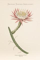 Cereus spinulosus / Selenicereus spinulosus