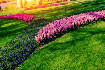 Group of beautiful multicolored hyacinths. Holland.