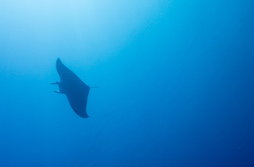 Giant manta ray swimming alone in ocean