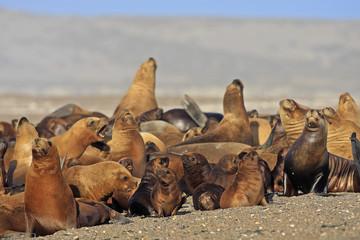 Otariaflavescens / Lion de mer