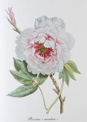 Illustration botanique / Paeonia x / PIvoine