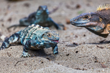 Trio of black iguanas on the beach