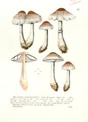 Illustration / Lepiota haemathosperma  / Lépiote