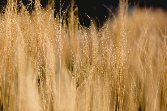 Golden grass bush in day light