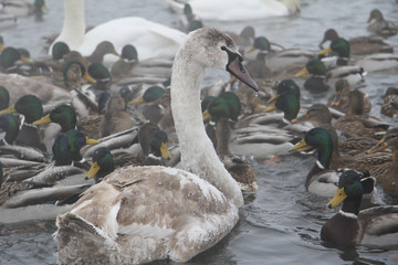 Frozen swans and ducks  in thelake in winter