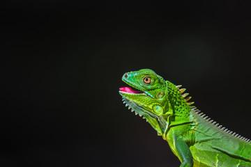 Juvenile Green Iguana basking