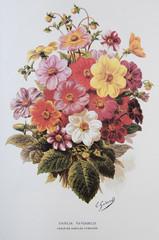 Illustration / Dahlia variabilis / Dahlia