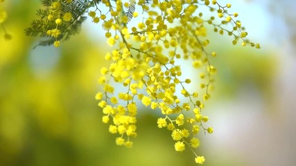 Klistermärke - Mimosa. Spring flowers Easter background. Blooming mimosa tree over blue sky. Full HD 1080p video footage