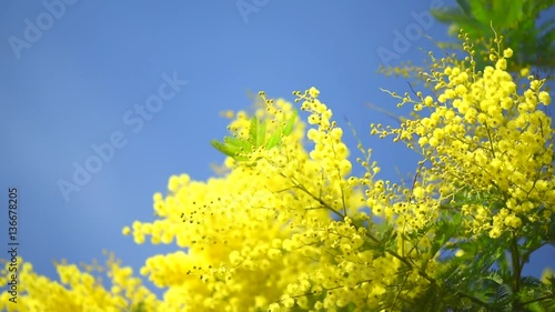 Wall mural Mimosa. Spring flowers Easter background. Blooming mimosa tree over blue sky. Full HD 1080p video footage