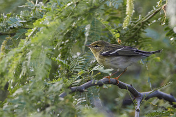 Blackpoll Warbler (Setophaga striata) foraging in bushes, Guanica Dry Forest, Puerto Rico