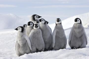 Photo sur Aluminium Antarctique Aptenodytes forsteri / Manchot empereur
