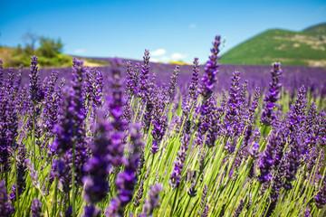 Printed roller blinds Lavender Purple lavender field in Provence France