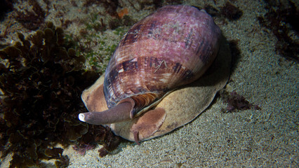 Large sea snail crawling along ocean floor