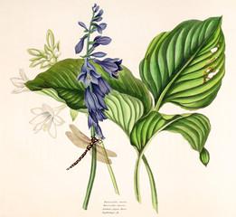 Illustration botanique / Hosta plantaginea / Hosta