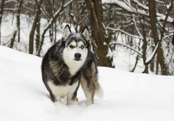 husky snow winter beautiful proud animal wild dog wolf