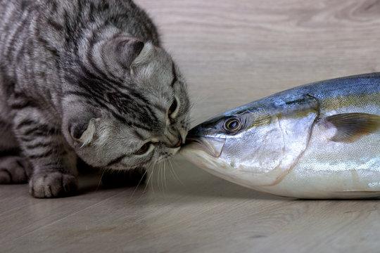 British cat kisses