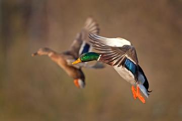 mallard, wild duck, anas platyrhynchos, Czech republic