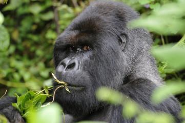Gorilla gorilla beringei : Gorille de montagne