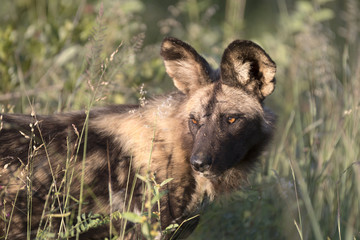 Close up portrait of african wild dog