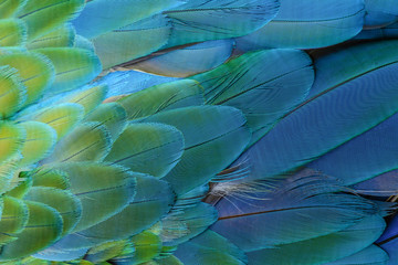 Close up of blue and yellow macaw bird's feathers