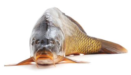 Big carp.