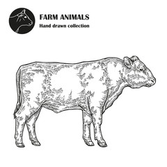 Hand drawn bull cattle isolated on white background. Farm animal