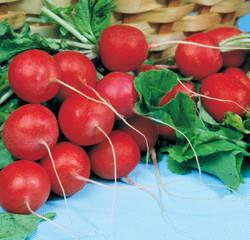 Red ripe radishes